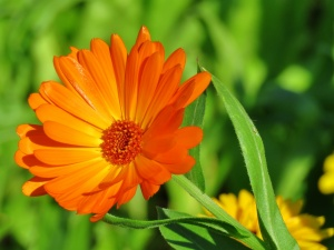 Cos'è Calendula officinalis?