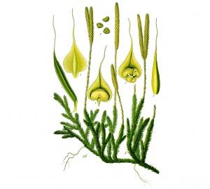 Cos'è Lycopodium clavatum?