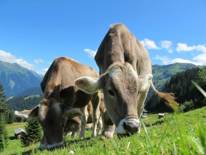 Fertilità bovina e medicina omeopatica veterinaria