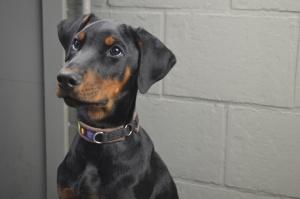 Incontinenza urinaria in un cane. Caso clinico omeopatico didattico
