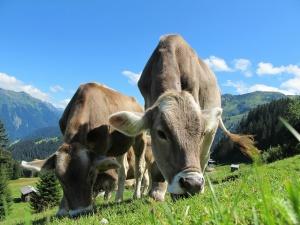 bovino da latte