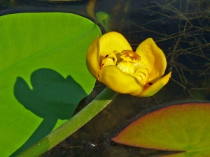 Nuphar luteum